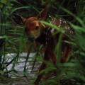 Ruby Standing Deer
